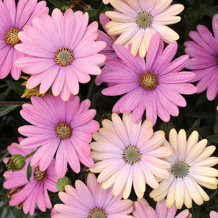 50 best images about Osteospermum on Pinterest