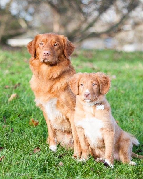 Nova Scotia Duck Tolling Retrievers Dogs