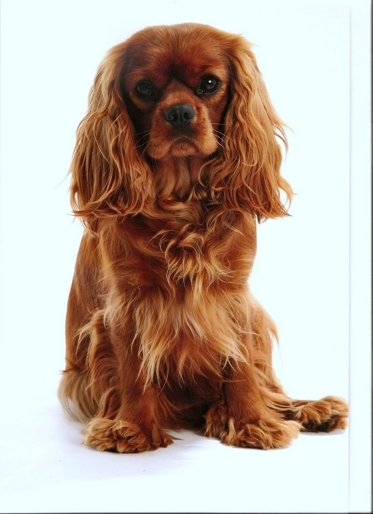 How-to Select a King Charles Spaniel
