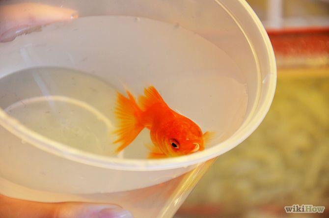78 images about goldfish on pinterest ryukin goldfish for Live fish food