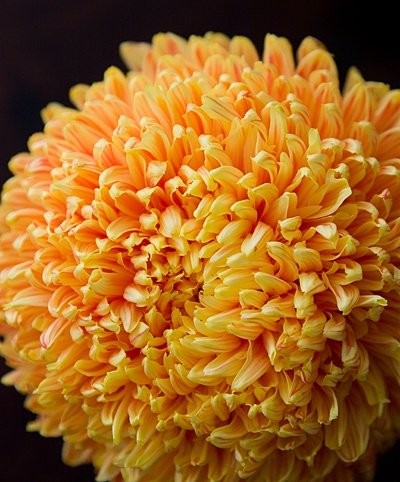 135 best flowers mums images on pinterest blossoms bloemen and mums mightylinksfo