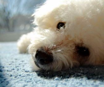 Best Cute Puppy Names For Bichon Frise Best Cute Puppy Names Dogs