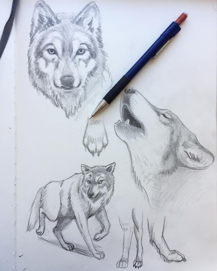 Some wolf studies. Find your weaknesses and work on them. Animal illustrations are a weakness of mine! I'm going to fix that. Watch me! 👀   #wolf #howl #study#wolfstudy #dog #animal #illustration #sketch #sketcheverydamnday #sketchbook #sketchoftheday #art #artistsoninstagram #practice #artpractice #artforsale #artsy #callofthewild