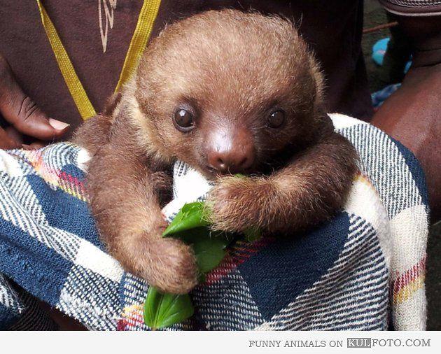 Baby sloth having lunch
