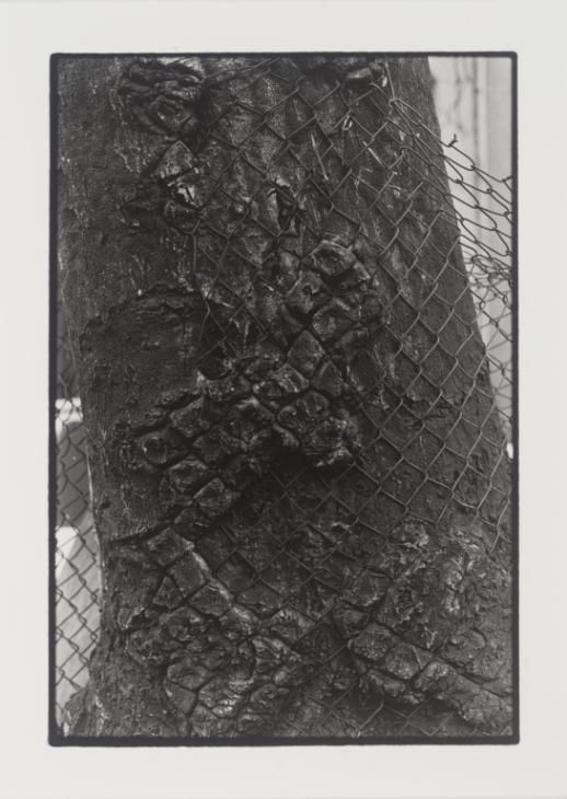Zoe Leonard 'Detail (Tree + Fence)', 1998, printed 1999 © Courtesy the artist and Galerie Gisela Capitain, Cologne