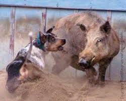 Image result for catahoula leopard dog hunting