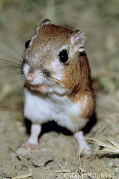 Kangaroo Rat on emaze