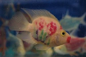 Another fish that was tattooed, read this. http://www.aquamoss.net/Newsletter/0601/Newsletter-0601-Dyed-Fish.htm