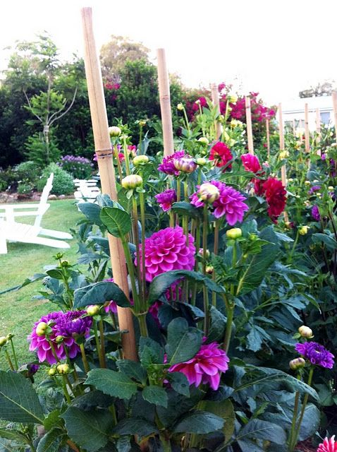...dahlias make me so happy - my grandmother planted them with her vegetable garden.