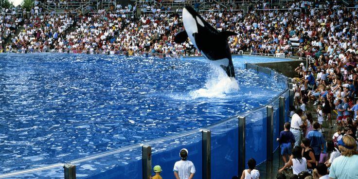 Обычное выступление в одном из океанариумов SeaWorld.  |  #косатки  #животные  #сша  #океанариумы