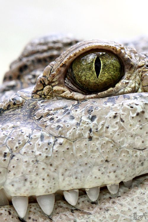 Crocodile Smile  by Lea's UW Photography. Curated for your pinning pleasure by prolabdigital.com