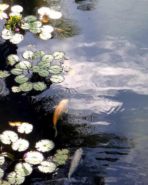 17 best images about koi on pinterest fish paintings for Chinese koi pond