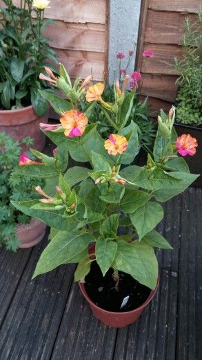 Recipe: Mirabilis jalapa, wonder of peru so stunning in two tone pink and orange a bog standard pot suffices. created by club member Phil Huckle @philhuckle1