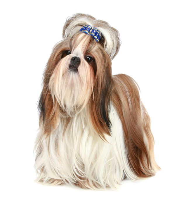 #Topknot bow deterrent in new Shih Tzu Standard #ShihTzu #dogs #dogshows #dogshowing