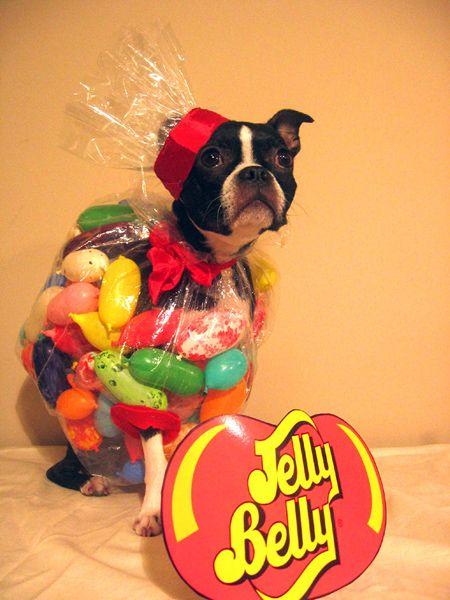 Beatrix Kiddo (Bebe) -- Jelly Belly Boston Terrier Costume ohhhh my! So cute!