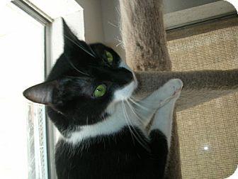 Midway City, CA - Domestic Shorthair. Meet Doodles, a cat for adoption. http://www.adoptapet.com/pet/12028745-midway-city-california-cat