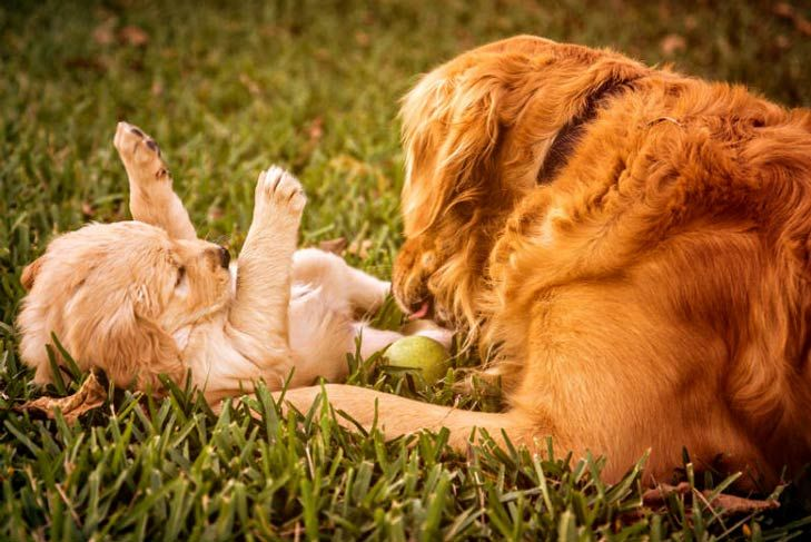 How Long Are Dogs Pregnant Pregnant Dog Dogs Golden Retriever