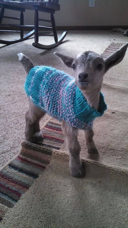 Baby goat, so sweet in their jumper!