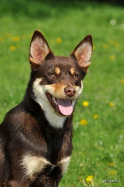 Red and tan Australian Kelpie. The breed comes in a number of coat colours.
