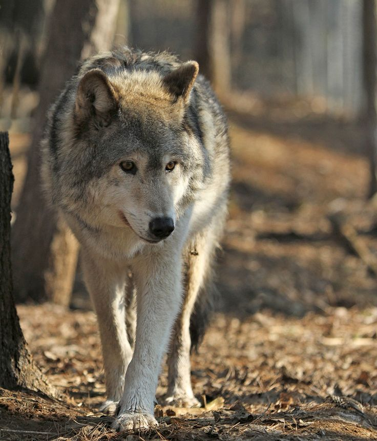 Image result for wolf photography