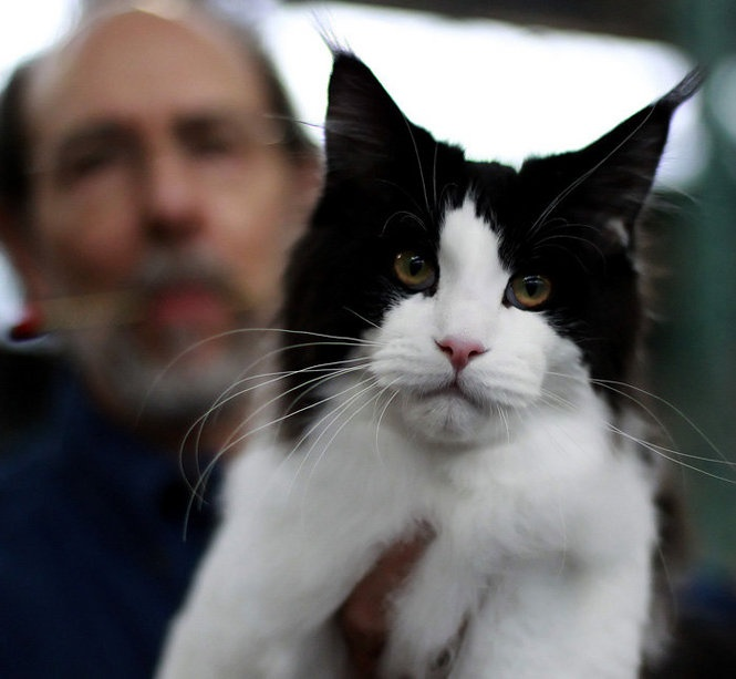 David Bernbaum, holds up his award winning Maine Coon cat Hirschfeld, during the Lehigh Valley Cat Club's International Allbreed & Household Pet Cat Show at the Farm Show Complex in Harrisburg Saturday March 31, 2012. CHRIS KNIGHT, The Patriot-News