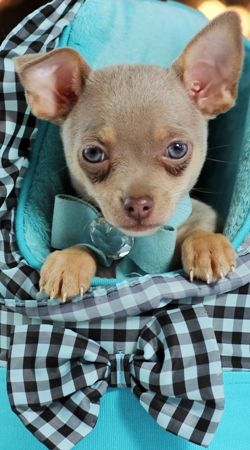 """Beware of people claiming to sale """"tea cup"""" chihuahuas.  There is no such thing. Check out the American Kennel Club Website at: http://www.akc.org/dog-breeds/smallest-dog-breeds/  All chihuahuas are considered """"toys"""".  Don't pay a higher price for a """"tea cup""""."""