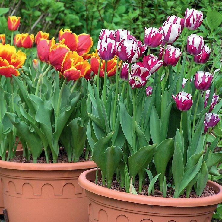 54 besten zwiebelblumen bilder auf pinterest narzissen pflanzen und blau. Black Bedroom Furniture Sets. Home Design Ideas