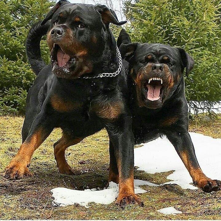 Caption This Knutne Rottweiler Rottweilers