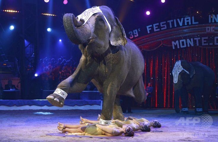 モナコ公国で開催の第39回モンテカルロ国際サーカスフェスティバル(International Circus Festival of Monte-Carlo)でパフォーマンスを披露する、イタリア人のエルビス・エラーニ(Elvis Errani)氏が調教を担当したアジアゾウ(2015年1月15日撮影)。(c)AFP/LIONEL CIRONNEAU ▼19Jan2015AFP|モンテカルロ国際サーカスフェスティバル、モナコで開幕 http://www.afpbb.com/articles/-/3036724
