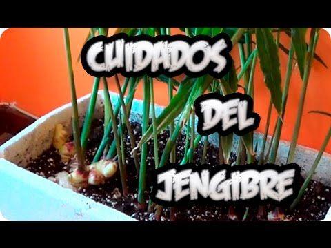 Cuidados y riego del cultivo del jengibre en maceta