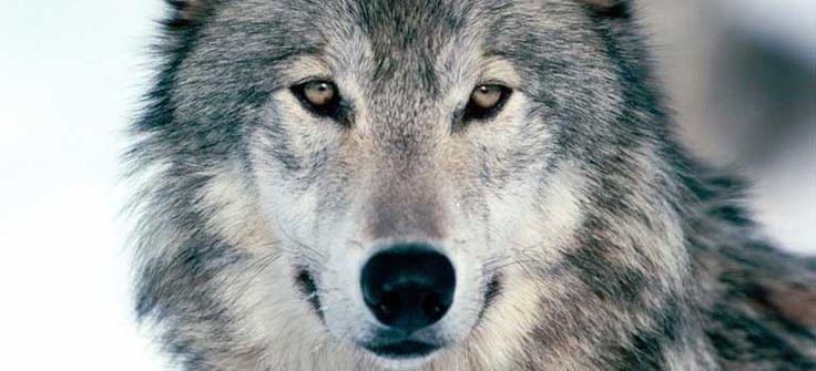 No al piano di abbattimento del lupo: appello a Gentiloni Il piano di abbattimento del lupo: un ritorno indietro. La caccia è il problema, non la soluzione.