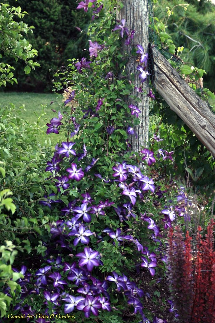 venosa violacea clematis viticella clematis clematis pinterest clematis gardens and plants. Black Bedroom Furniture Sets. Home Design Ideas