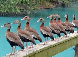 The black-bellied whistling duck is a mid-sized waterfowl species. Length ranges from 47 to 56 cm (19 to 22 in), body mass from 652 to 1,020 g (1.437 to 2.249 lb) and wingspan ranges from 76 to 94 cm (30 to 37 in).[2][3] It has a long red bill, long head and longish legs, pale grey head and mostly grey-brown plumage. The belly and tail are black, and the body plumage, back of the neck and cap are a rich chestnut brown. The face and upper neck are grey, and they sport a thin but distinct…