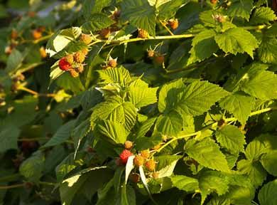 how to prune blackberries pdf