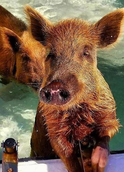 Piggyville - No Name Cay, Abacos, Bahamas