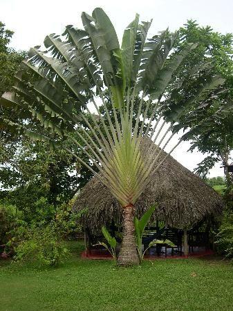 fan palm trees. fractal symmetry in nature - fan palm trees r