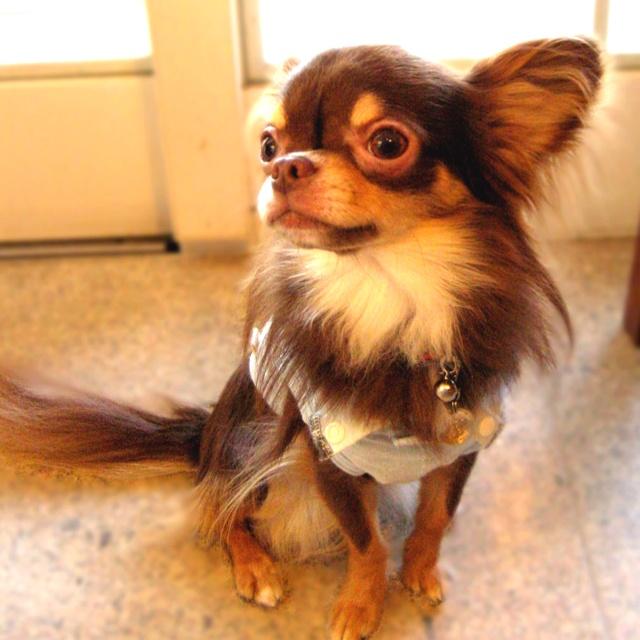 Choco  Chihuahua