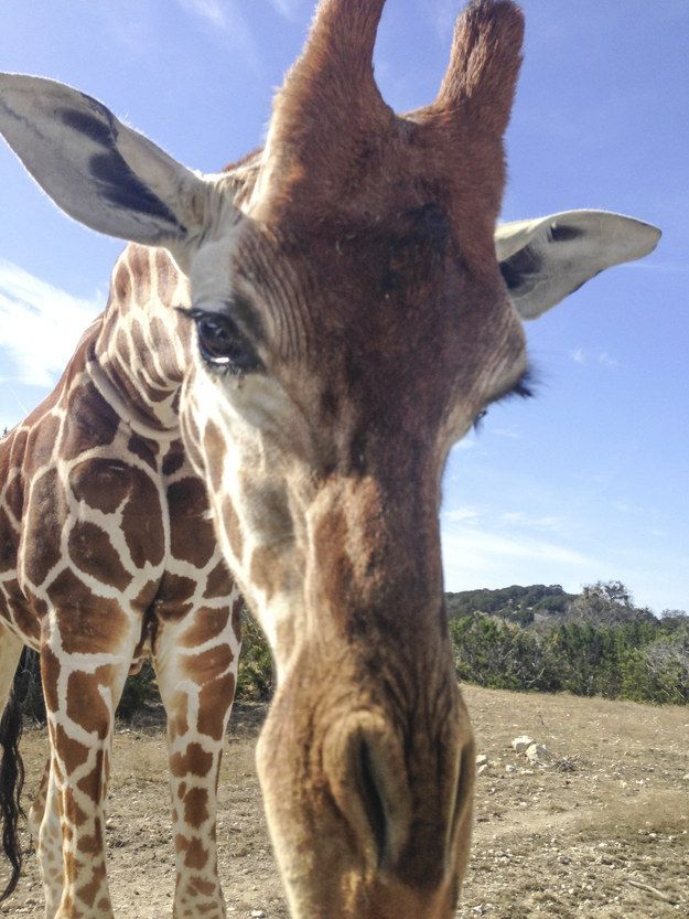 They are the only animals born with their horns, which are actually called ossicones. | 22 Facts That Will Change The Way You Look At Giraffes