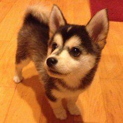 Le Pomsky : un mini Husky aux allures de Loulou de Poméranie (Photos)