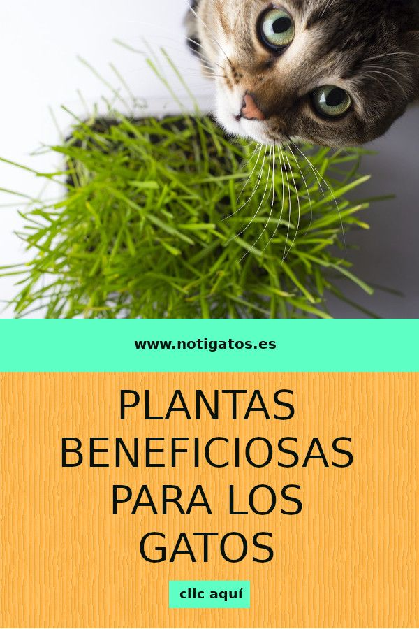 Los gatos son carnívoros por naturaleza, pero ¿sabías que también pueden comer algunas plantas? Entra y te diremos cuáles son las mejores para ellos.  #plantas #gatos #catlovers Animals And Pets, Cute Animals, Cat Garden, Pet Care, Cat Lovers, Dog Cat, Home, Cat Collars, Cat Toys