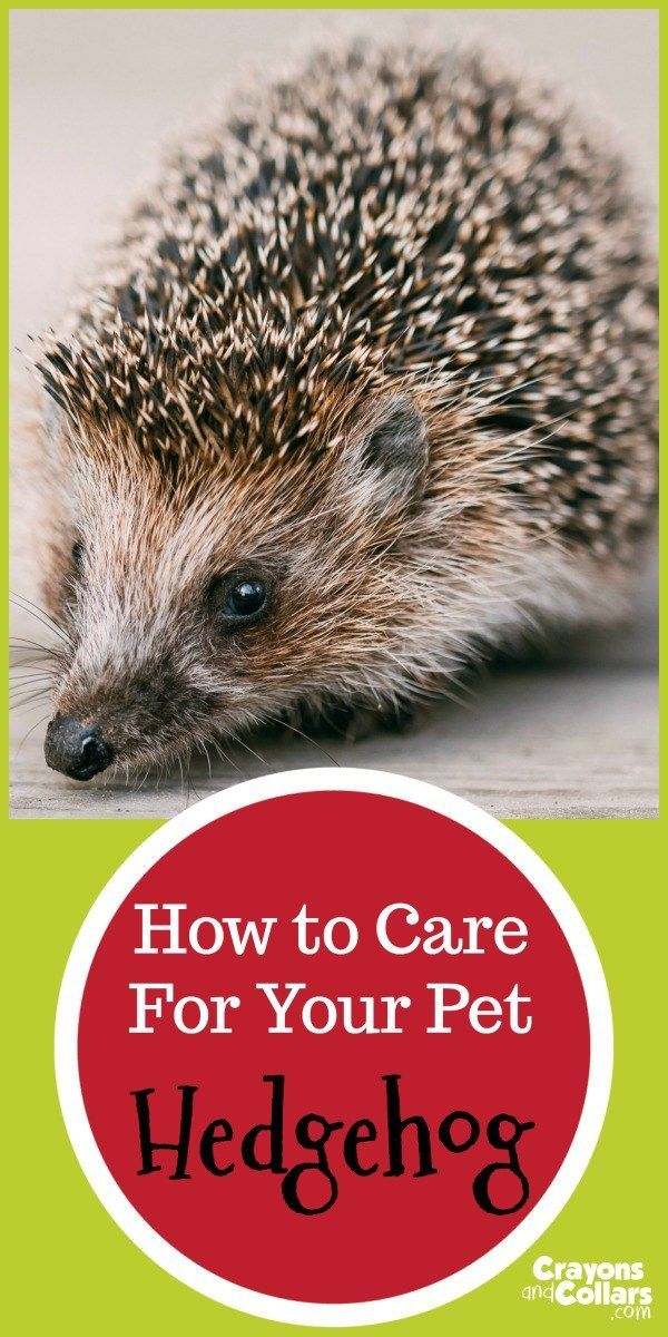 How to care for your pet hedgehog