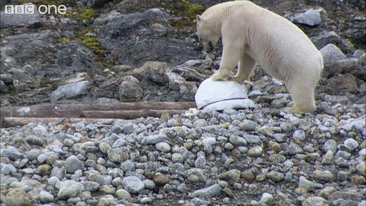 Polar bears smash the spy cams - Polar Bear: Spy On The Ice - BBC One I love the part where the one spycam is trying to outrun the bear!