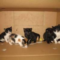 Beş adet 2 aylık kedi yavrusu ( 3 erkek - 2 dişi ) yuva arıyor
