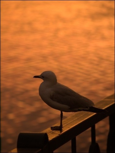 Contemplative Seagull
