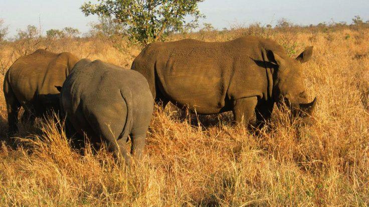 Rhinoceros spotted.