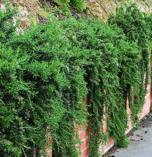 36 Best Images About Garden Wall Spilling Species On