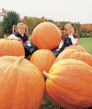 How to grow huge pumpkins - Gardening Tips and Advice at Burpee.com