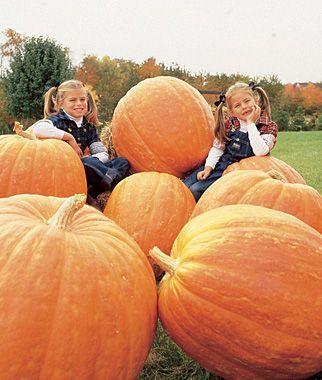 How to grow huge pumpkins - Gardening Tips and Advice at Burpee.com