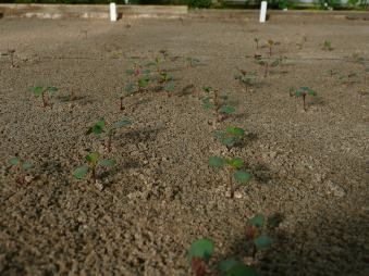 The Breeding Process Seedlings starting to germinate in late winter / early spring
