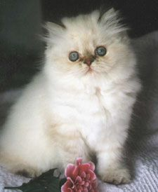 The Himalayan is a Persian cat with the same colourpoint markings as the Siamese cat.   Know in the UK as the Persian Colourpoint. Or officially the Colourpoint Longhair - and the Himalayan in the USA.  In the 1920s some reference was made to a Malayan Persian, but appears to have been abandoned in 1947, in favour of the name Masked Silver that is also now obsolete.  Overall Appearance and temperament is that of the rest of the Persian group.   Ultra and open type, with flat face, small…